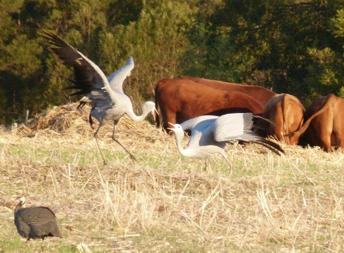 Blue cranes mating dance